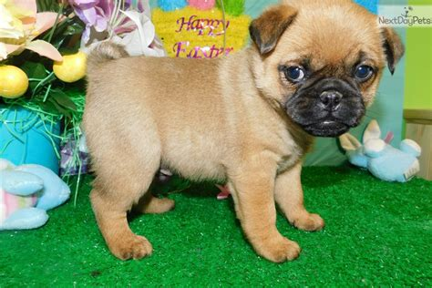 pug breeders near chicago pug mix pug puppy for sale near chicago illinois d9303754 3261