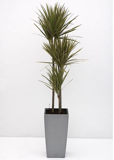 tall house plants dracaena tricolour tall narrow office planting
