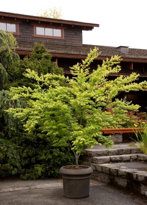 japanese maples planting growing  care tips hgtv