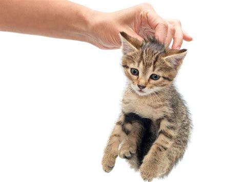 come allevare un gatto come scegliere un micino consigli