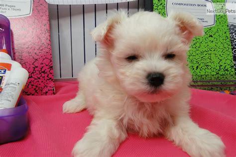 maltese puppies for sale in oklahoma maltese puppy for sale near tulsa oklahoma 2f1b72cf 4b41
