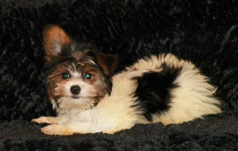 yorkie poo grown weight stonebriar ranch puppies