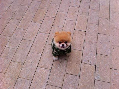 pomeranian in the world boo the cutest pomeranian in the world
