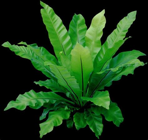 china doll plant poisonous to cats 1000 images about house plants non poisonous on