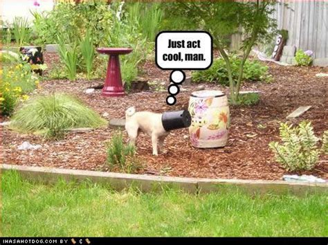 ihasahotdog pug pugs images just act cool wallpaper and background photos 30635093