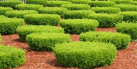 backyard bushes low maintenance shrubs for backyard interior design