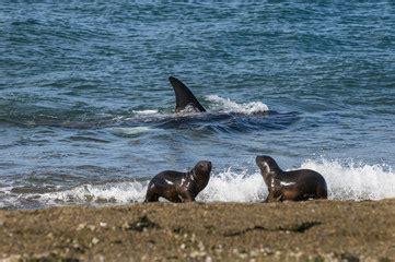 killer whales with sea pup bilder und suchen repr 228 sentative kategorie tiere