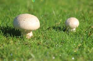 pilze garten pilze im garten bestimmen carprola for