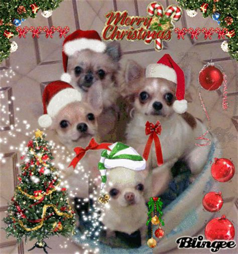 chihuahua christmas picture  blingeecom