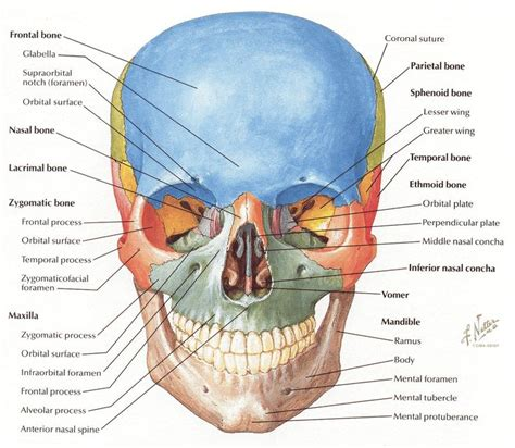 netter cranium frontal view message therapy