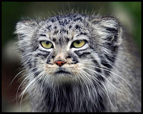 meme creator pallas grumpy cat meme generator