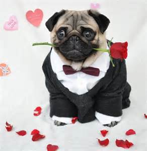Cute pug dressed up in human clothes becomes internet sensation daily star