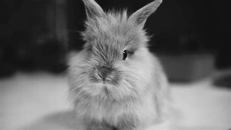 black and white rabbit wallpaper black and white bunny desktop background hd 1920x1080