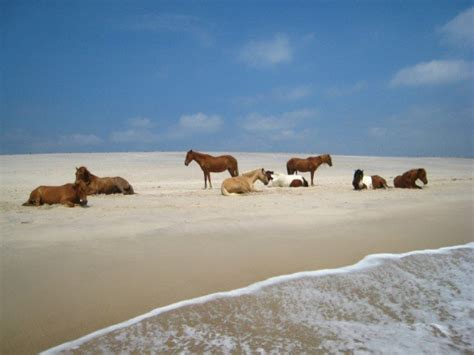 pony island picture7 assateague island virginia this is where my family