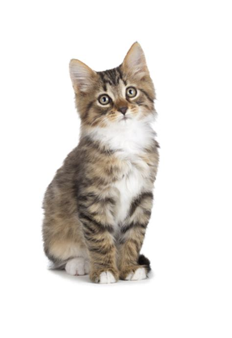 Kitten Images hq kitten png transparent kitten png images pluspng
