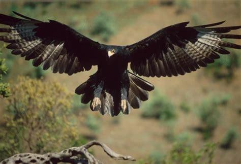 Aquila Hitam indian black eagle elang hitam jenisbop