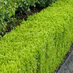 Buxus   Fine Gardening
