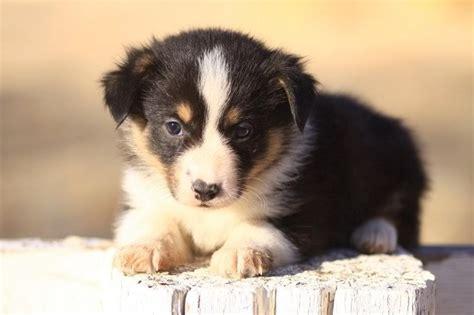 borgi puppies borgi puppy animals