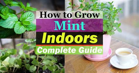 growing mint indoors   care  balcony garden web