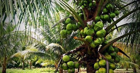 Bibit Kelapa Hibrida Jawa Tengah bibit unggulan berkualitas jual bibit kelapa kopyor