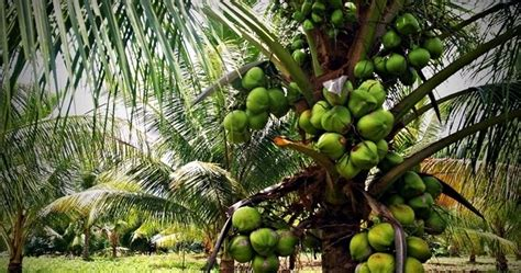 Bibit Kelapa Hibrida bibit unggulan berkualitas jual bibit kelapa kopyor
