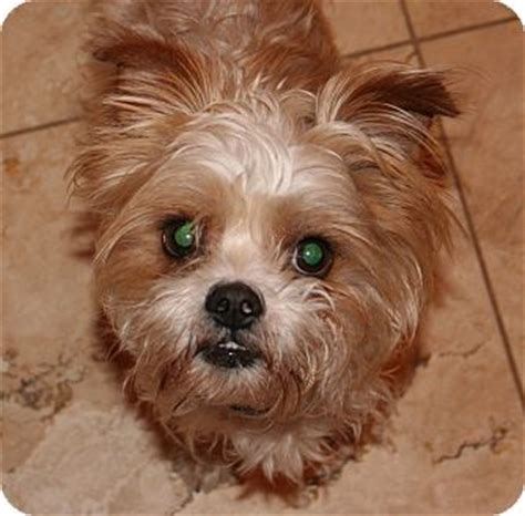 arizona yorkie rescue chewy adopted scottsdale az yorkie terrier poodle miniature mix