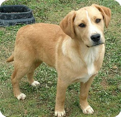 shepherd golden retriever mix axel adopted puppy salem nh golden retriever shepherd unknown type mix