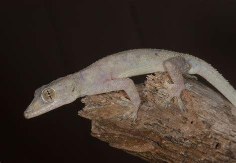hemidactylus mabouia tropical house gecko discover