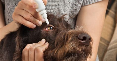 conjunctivitis in dogs conjunctivitis in dogs symptoms treatment and avoiding catching it