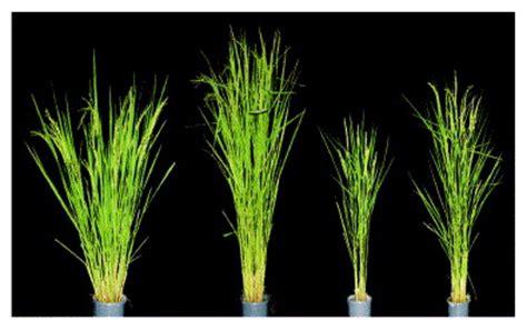the genes of the green revolution: trends in genetics