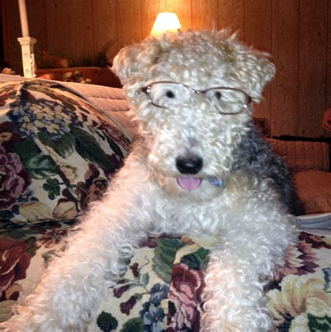 rescue illinois wire fox terrier rescue midwest illinois dogs in our photo
