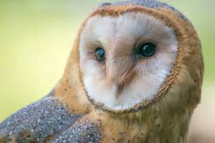 what is the barn owls scientific name high desert bird of the month barn owl