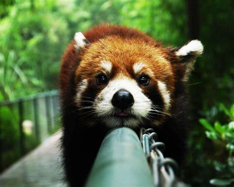 Panda Wallpaper For Mac | 1280x1024 cute red panda desktop pc and mac wallpaper