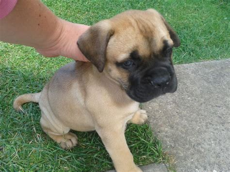 bullmastiff puppies bullmastiff kc registered puppies leicester leicestershire pets4homes