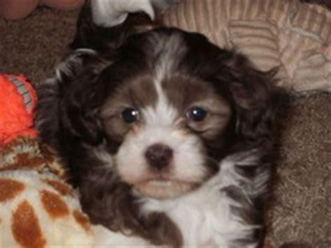 doodle treasures puppy mill breeders in ohio