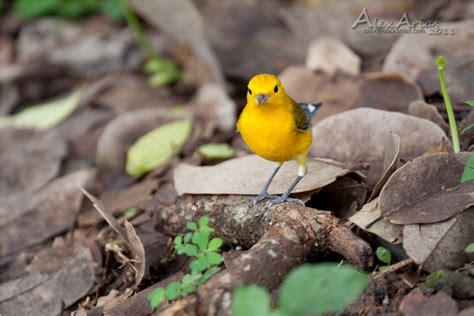 Prothonotary Search Prothonotary Warbler