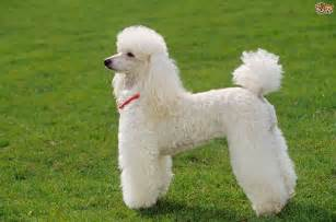 Miniature Poodle Miniature Poodle Breed Information Buying Advice