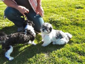 how often should i feed my puppy shih tzu pictures of 3 week german shepherd puppies 1001doggy