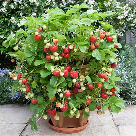 How to Grow Strawberries at Home?   Blog.Nurserylive.com