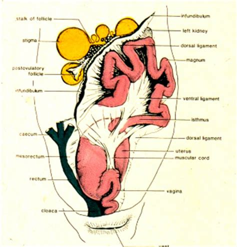 the female reproductive system: along comes the egg! pet