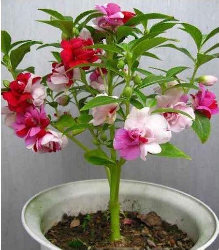 Jual Bibit Anggrek Import jual benih bibit bunga pacar air warna warni impatiens flowers import onigiri frenzy