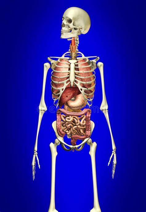 organi interni uomo scheletro dell uomo con gli organi interni fotografie