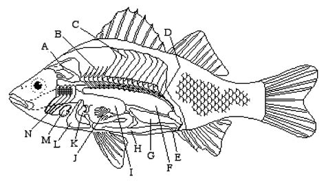 fish diagram coloring page 8 best images of fish labeling worksheet internal fish