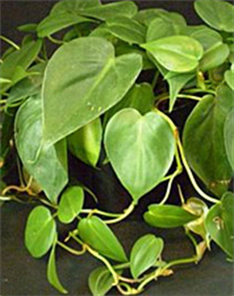 vine house plants name this plant game house plants 2