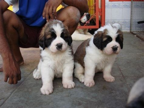 white pug puppies for sale in delhi testify kennel delhi st bernard puppies for sale for sale adoption from urbanestate