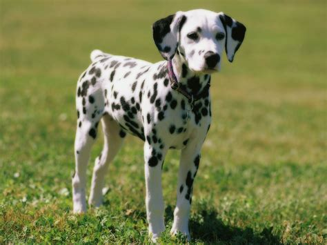 are dalmations dogs dalmatian