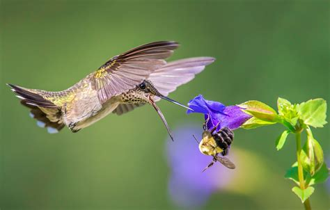 The Takaratomy Kotoridayori Humming Bird Whistles While You Work by To Understand How Hummingbirds Feed Think Of Them As