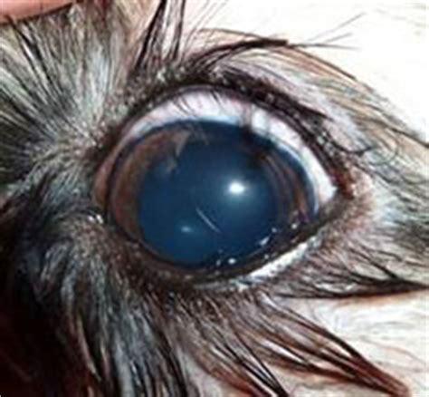 shih tzu genetic problems shih tzu brachycephalic ocular ufaw