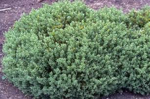 Garden Pests List - hebe topiaria topiarist s hebe rhs gardening