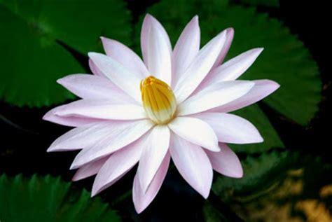 Obat Herbal Daun Teratai manfaat bunga teratai sebagai obat tradisional